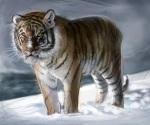 5. Tiger Colour